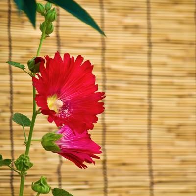 すだれと赤い花の写真