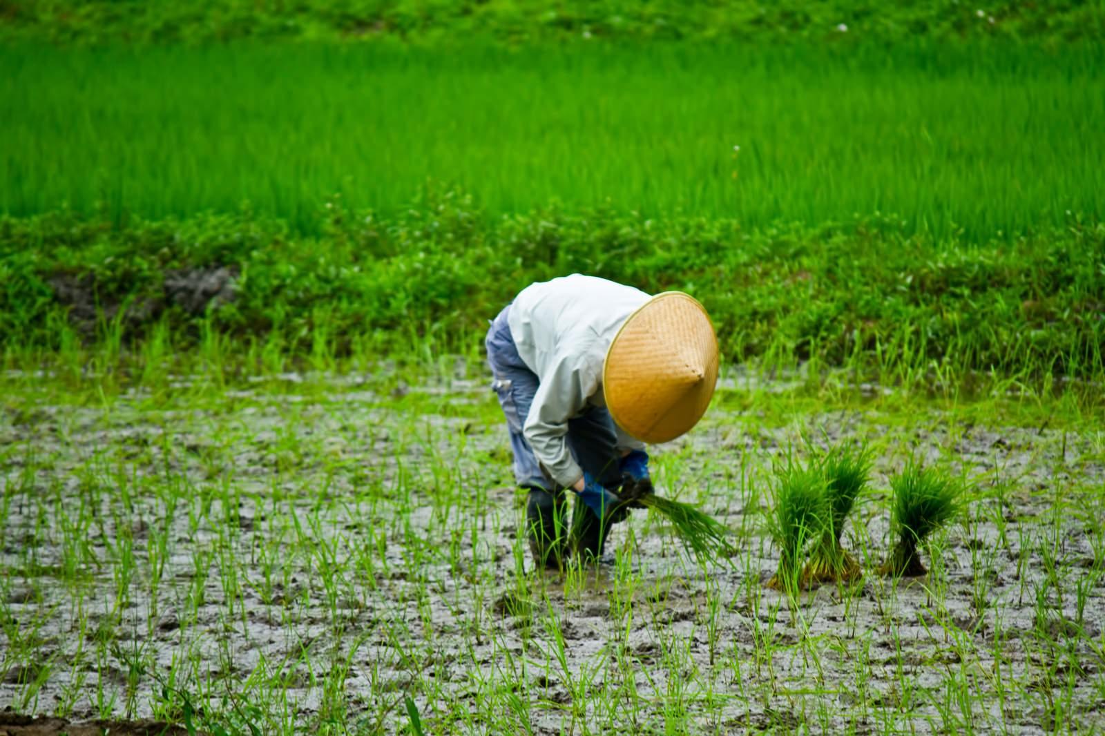 「手作業での田植え手作業での田植え」のフリー写真素材