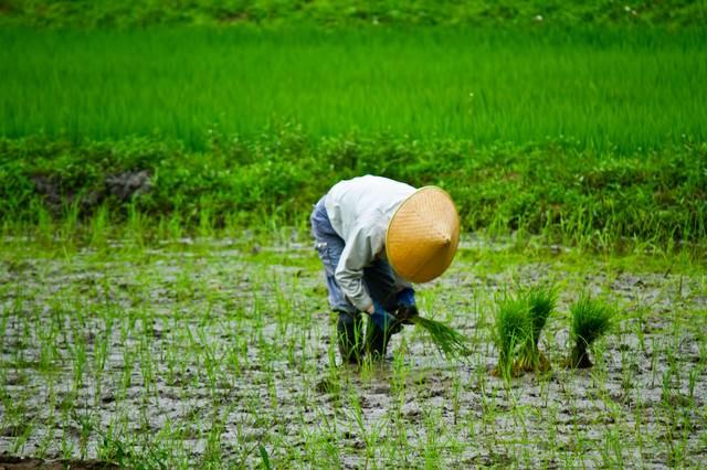 手作業での田植えの写真