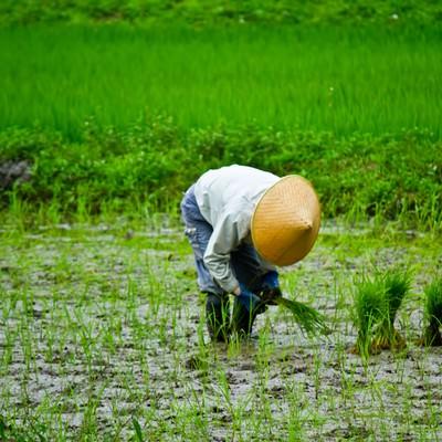 「手作業での田植え」の写真素材