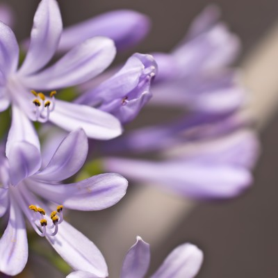 「薄紫の花」の写真素材