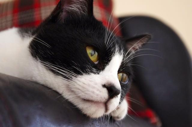 ソファーから顔を出す猫の写真