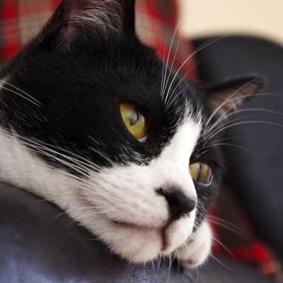 「ソファーから顔を出す猫」の写真素材