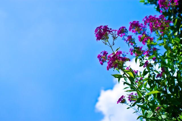 真夏の青空と紫の花の写真