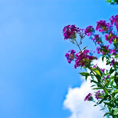 「真夏の青空と紫の花」の写真素材