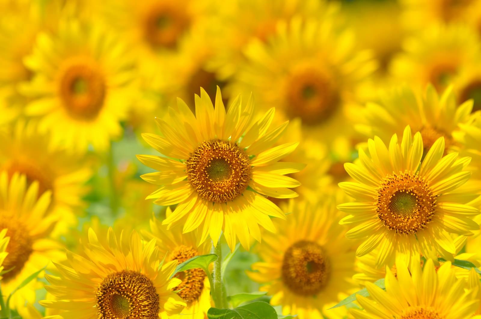 「太陽に向かって咲く(ヒマワリ)」の写真