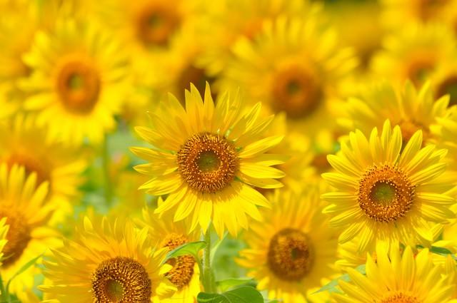 太陽に向かって咲く(ヒマワリ)の写真