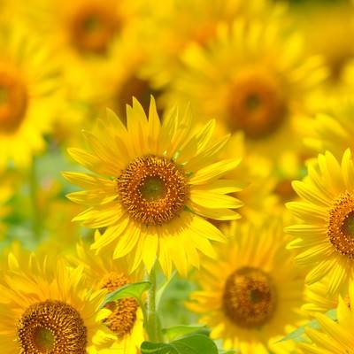 「太陽に向かって咲く(ヒマワリ)」の写真素材