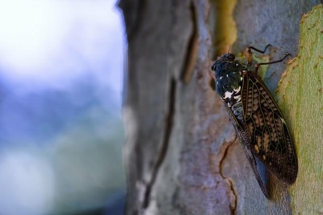 木にとまるアブラゼミの写真