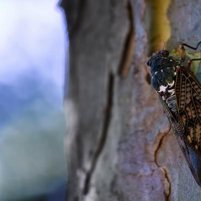 「木にとまるアブラゼミ」の写真素材