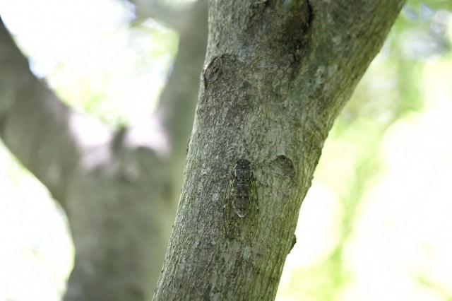 木にとまるヒグラシの写真