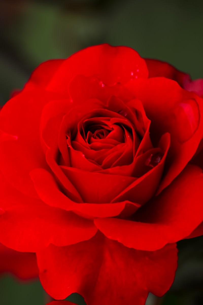 「紅の薔薇」の写真