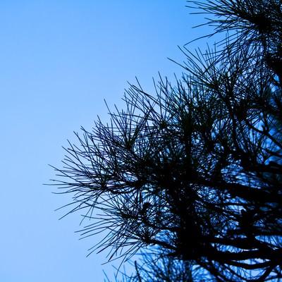 「松の枝」の写真素材
