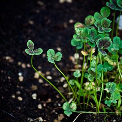 「三つ葉の草」の写真素材