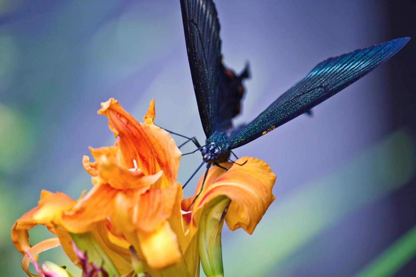 「蜜を吸う黒揚羽蝶 | 写真の無料素材・フリー素材 - ぱくたそ」の写真