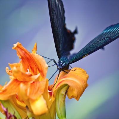 蜜を吸う黒揚羽蝶の写真