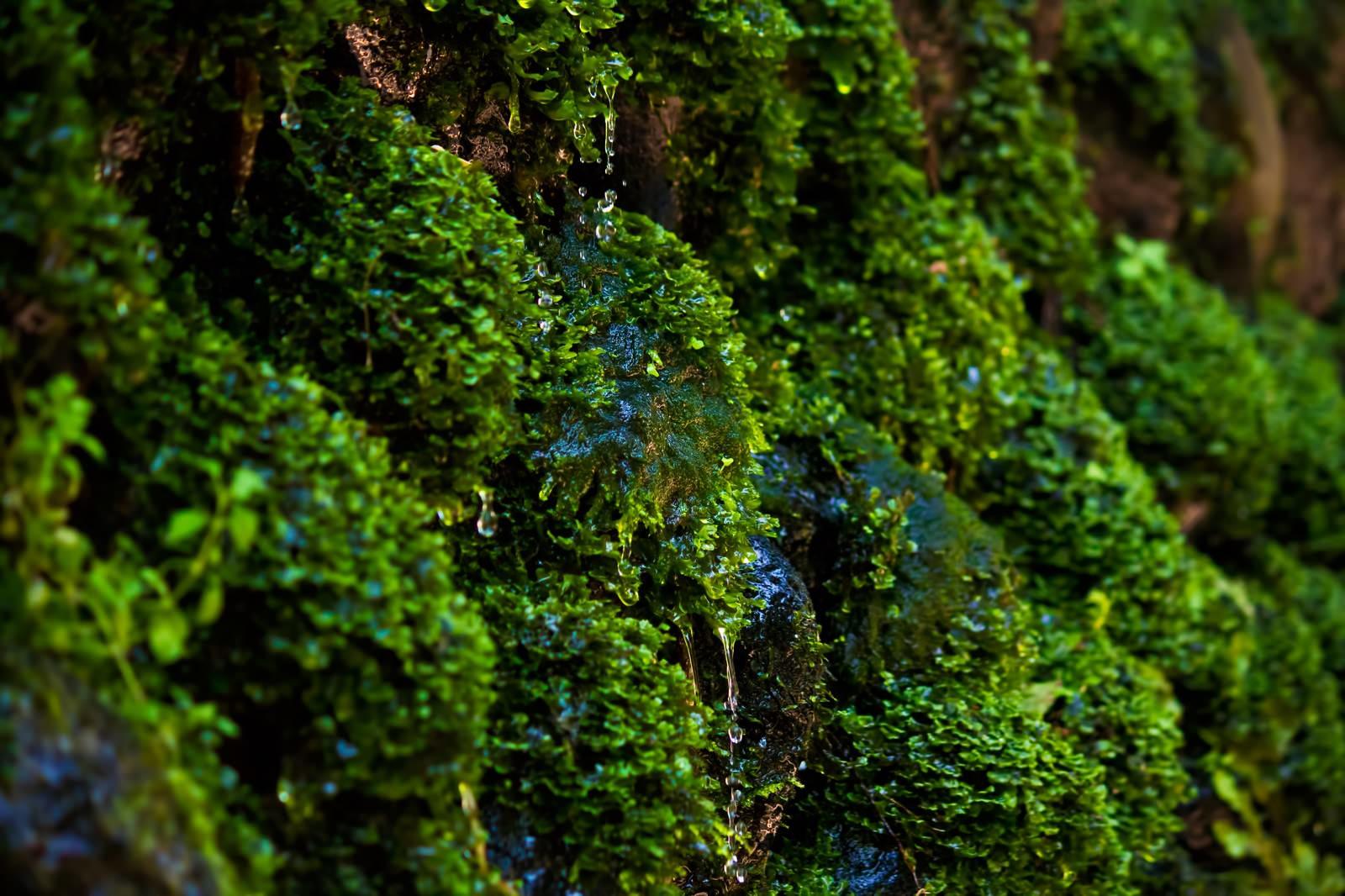 「藻から滴る湧水」の写真