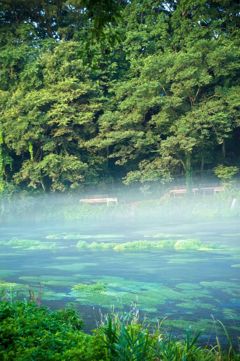 「朝靄の柿田川」の写真
