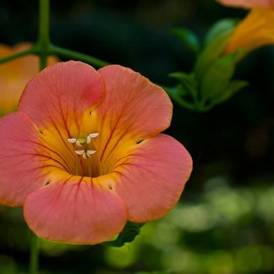 「ノウゼンカズラの花」の写真素材