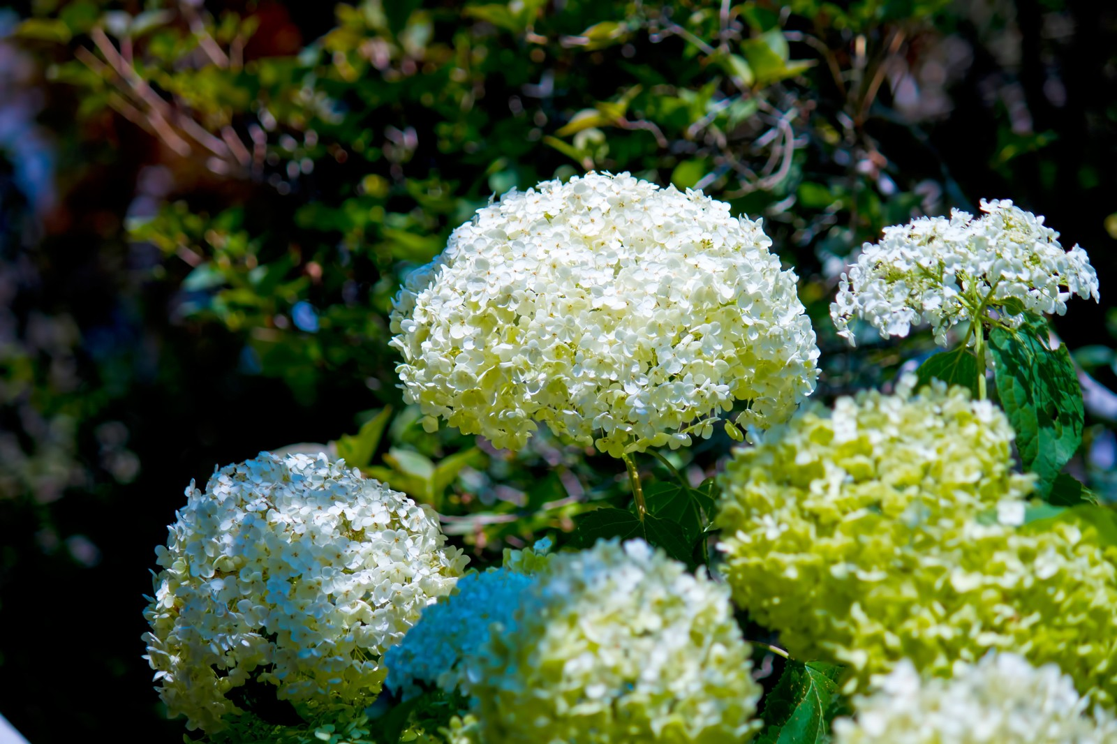 「白く咲く紫陽花白く咲く紫陽花」のフリー写真素材を拡大