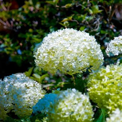 「白く咲く紫陽花」の写真素材