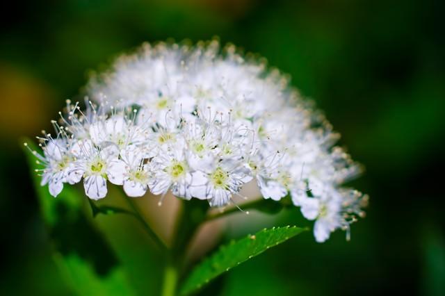 白く咲く花の写真