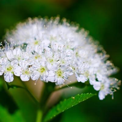 「白く咲く花」の写真素材