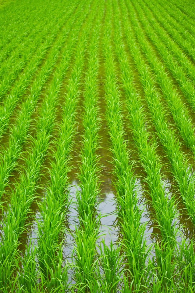 田植えされた田んぼの写真