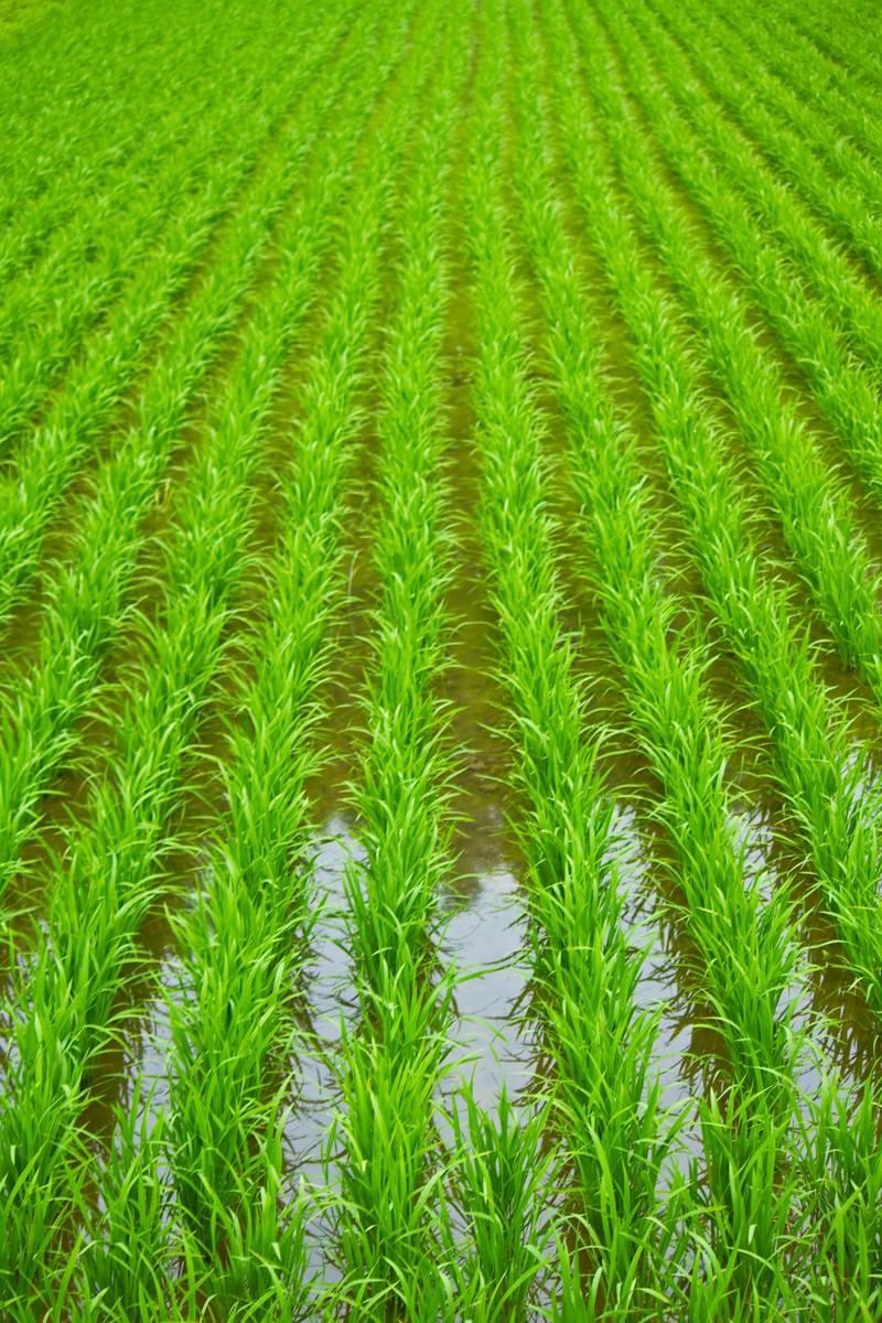 「田植えされた田んぼ」の写真