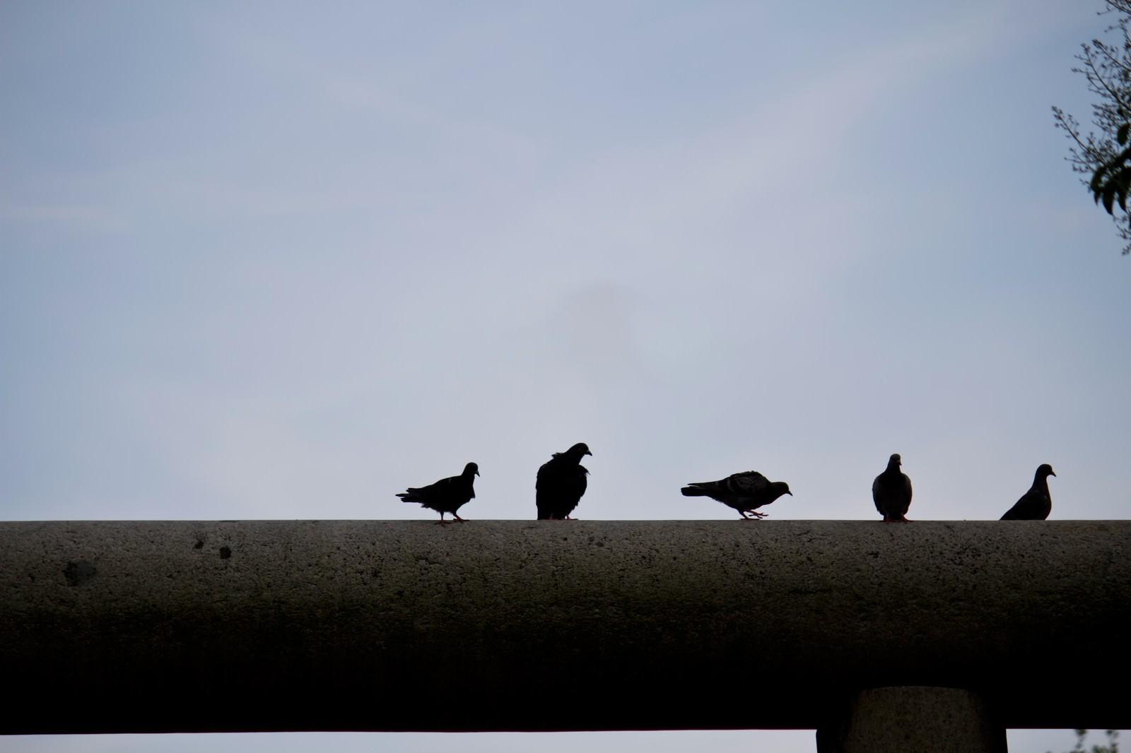 「鳥居の上の鳩」の写真