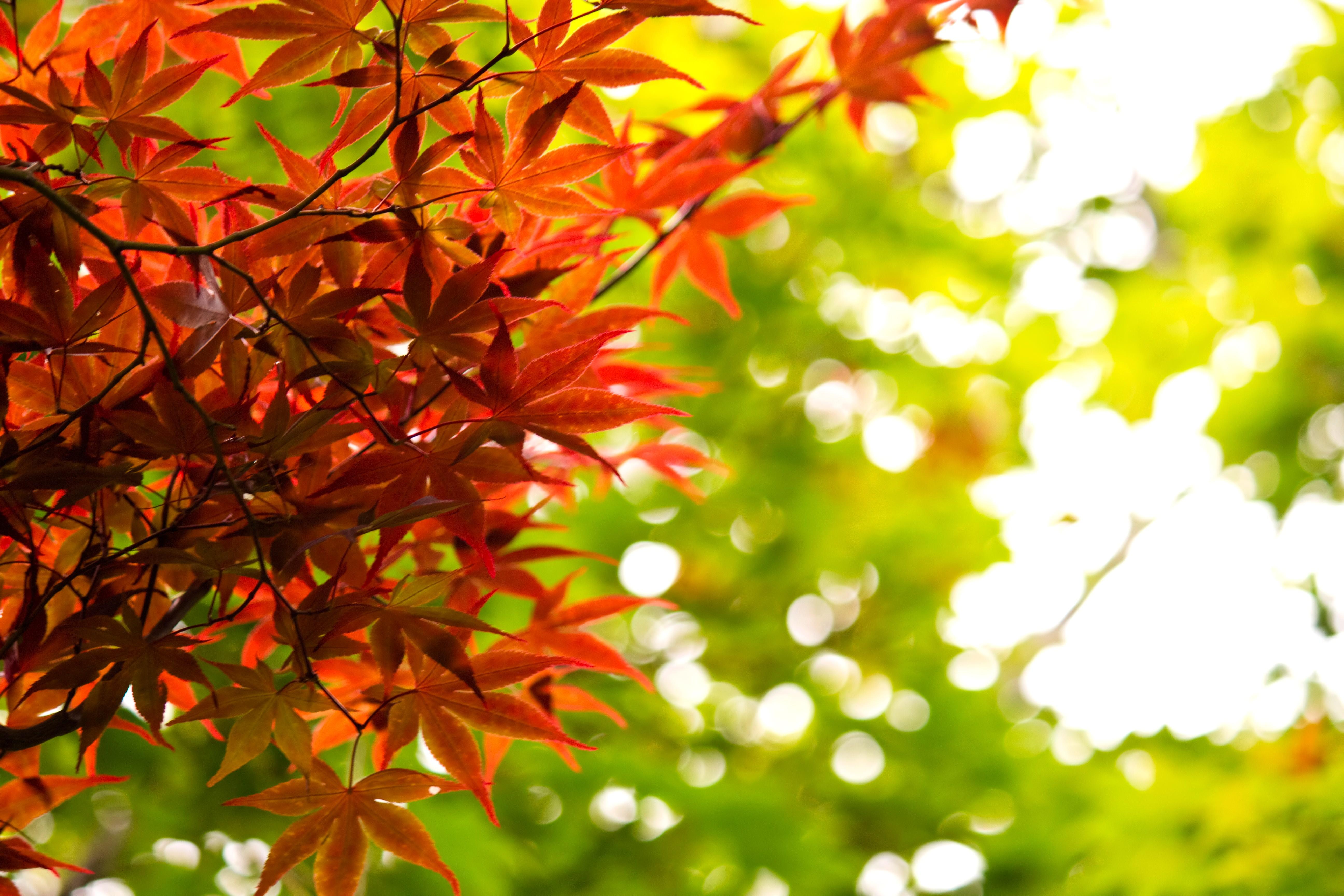 秋 黄葉する葉 無料の写真素材はフリー素材のぱくたそ