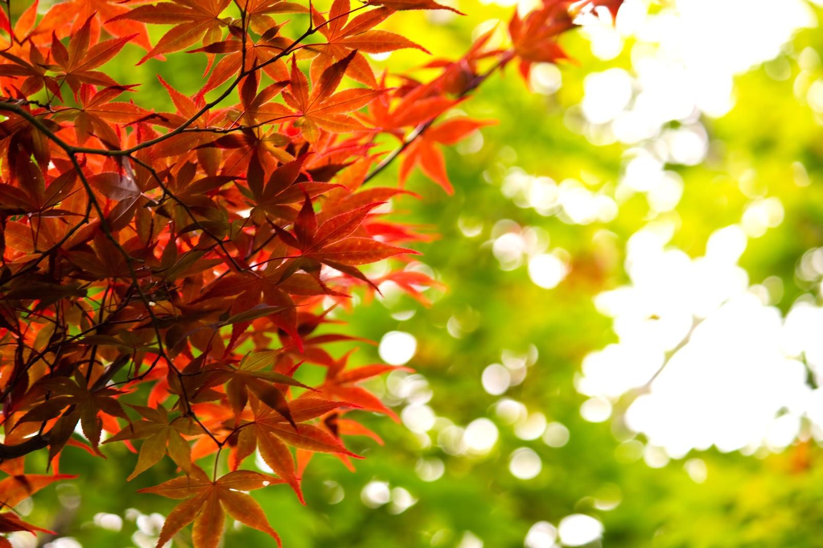 「秋、黄葉する葉」の写真