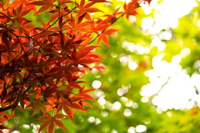 秋、黄葉する葉の写真