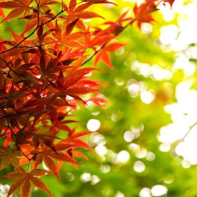 「秋、紅葉する葉」の写真素材