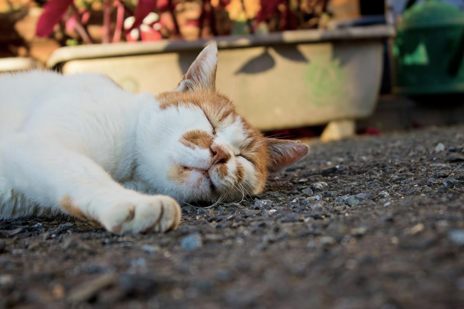 「アスファルトで爆睡中の猫アスファルトで爆睡中の猫」のフリー写真素材を拡大