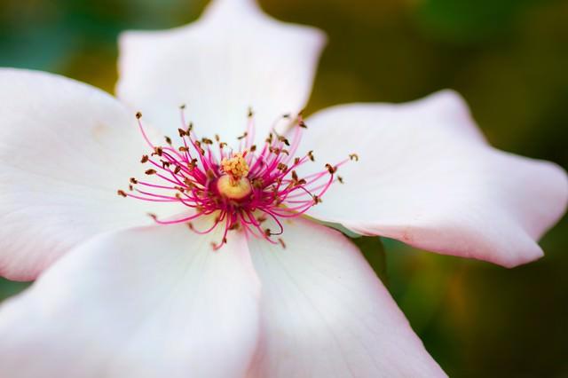 デインティべス(薔薇)の写真