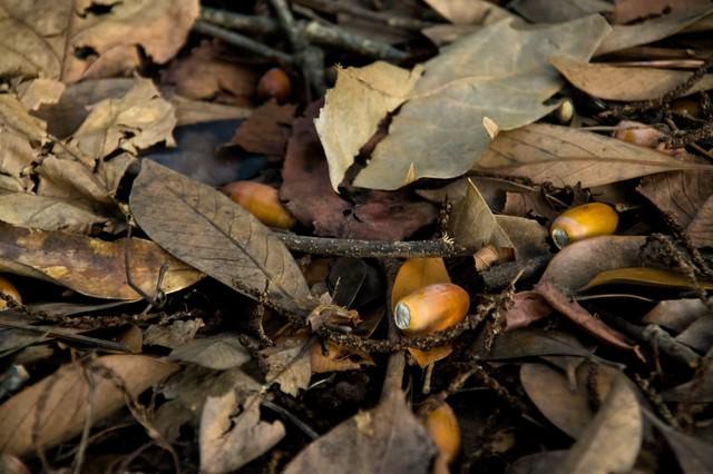 どんぐりと落ち葉の写真
