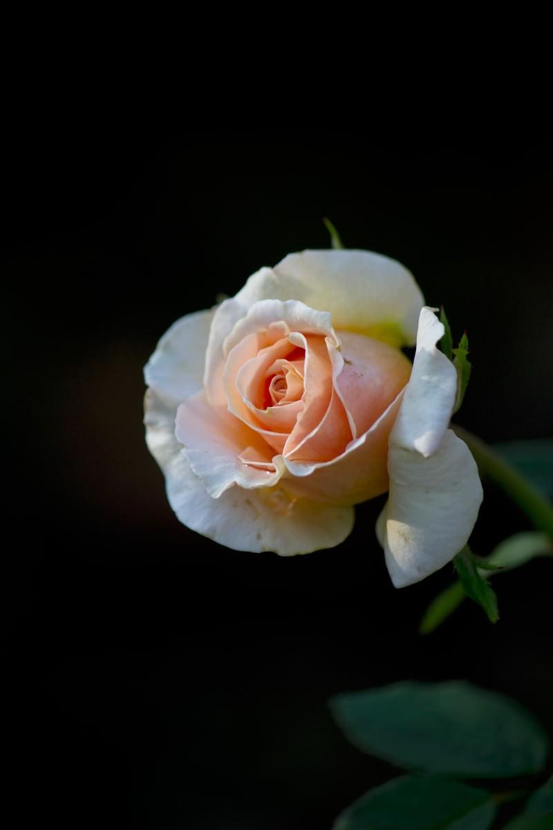 「フォローシップ(薔薇)」の写真
