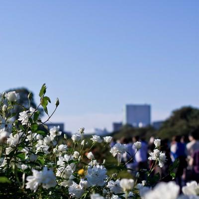 「白いバラ」の写真素材