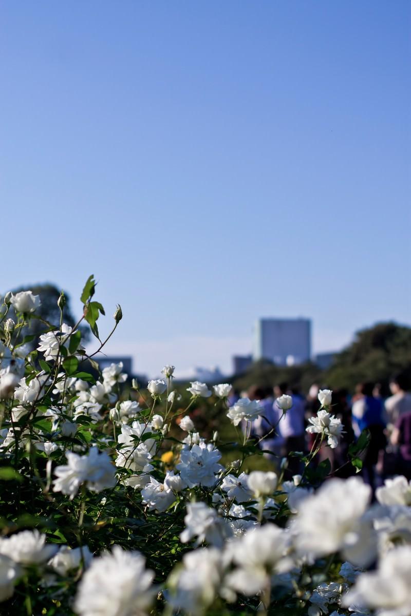 「白いバラ」の写真