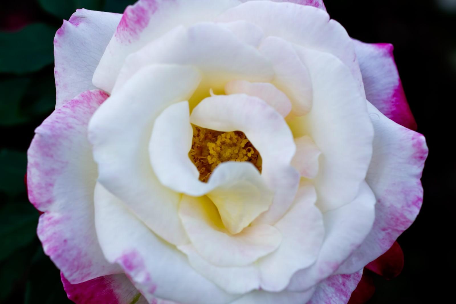 「フラグラントクラウド(薔薇)フラグラントクラウド(薔薇)」のフリー写真素材を拡大