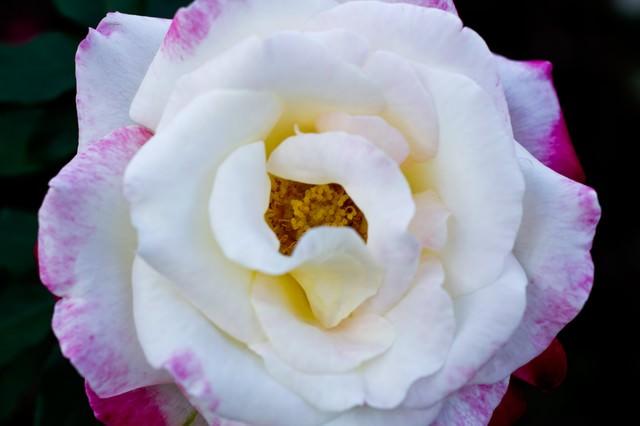 フラグラントクラウド(薔薇)の写真