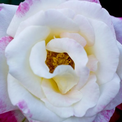 「フラグラントクラウド(薔薇)」の写真素材