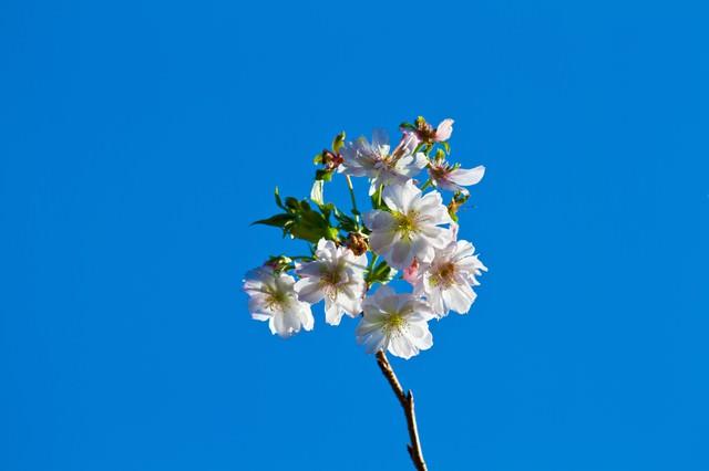 青空と十月桜(ジュガツザクラ)の写真