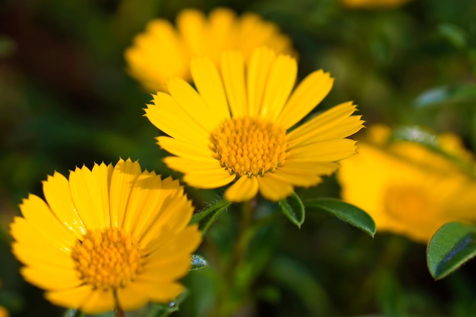 「黄色く咲く花」の写真