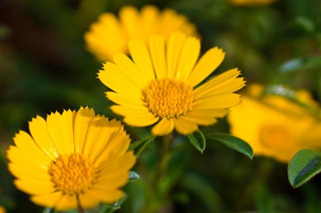 黄色く咲く花の写真