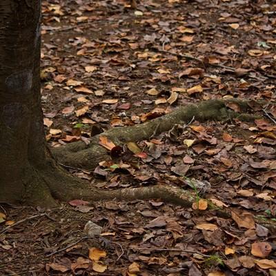 木の根と秋の落ち葉の写真