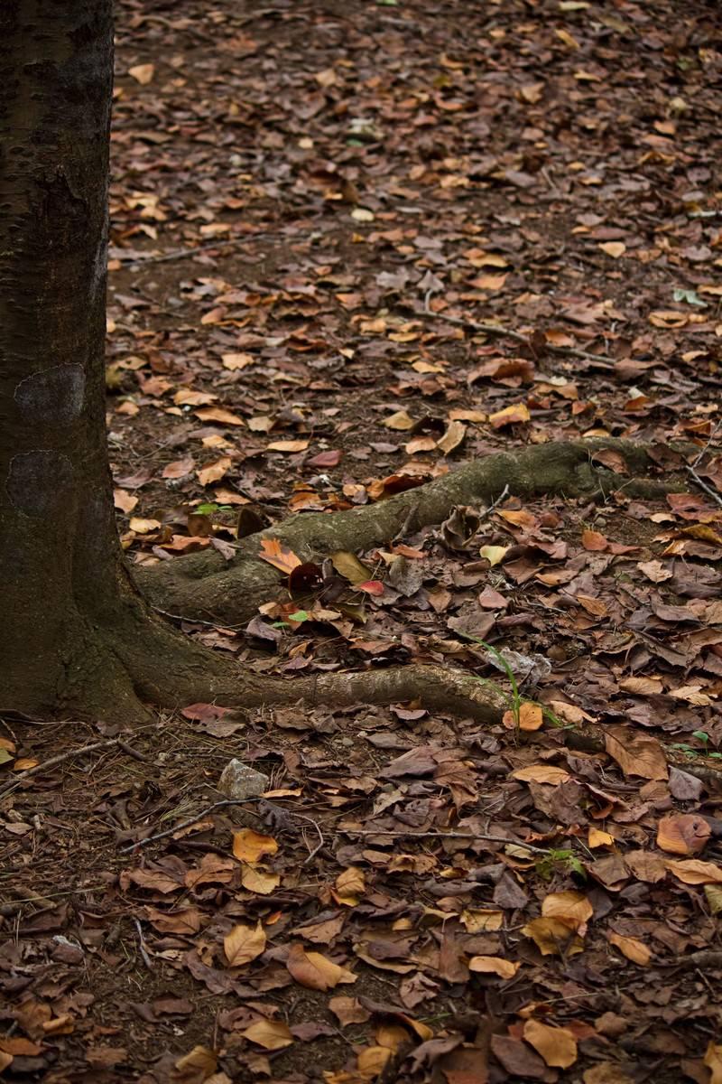 「木の根と秋の落ち葉木の根と秋の落ち葉」のフリー写真素材を拡大