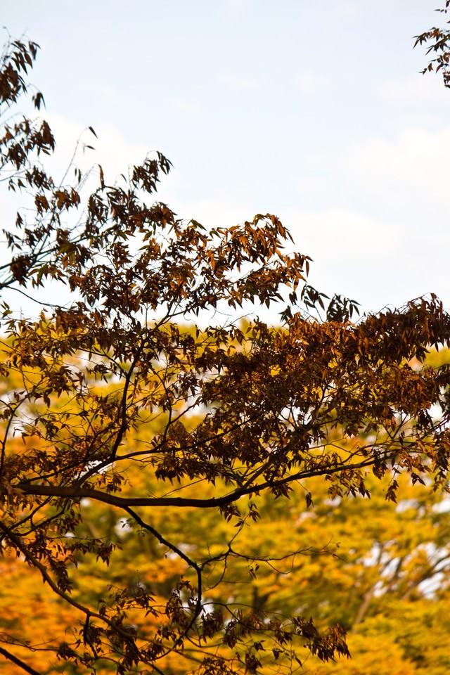 秋の到来、黄葉した木々の写真