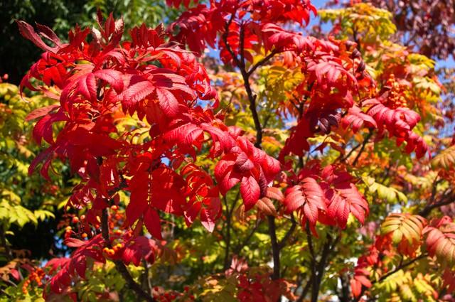 色づいたナナカマドの木の写真